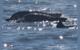BEM MINERAL: Vale monitora boto-cinza na Baía de Sepetiba