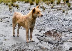 Dingo relative found in Papua highlands